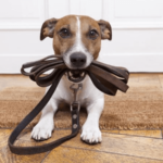 Un chien en laisse tirer Jaucot